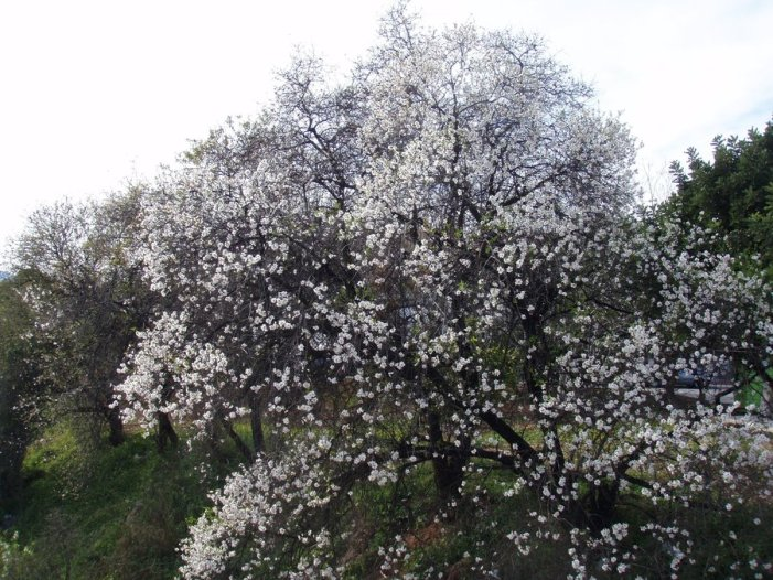 Árbol de Imbolc