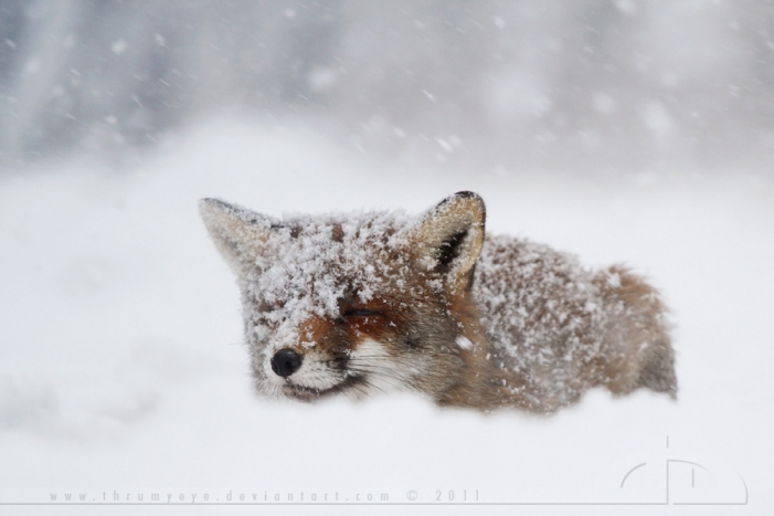Fox in a Snowstorm