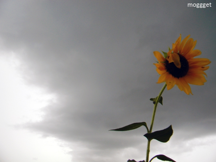 Sunflower in the Storm