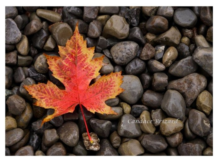Autumn_Maple_Leaf_by_Vamaena