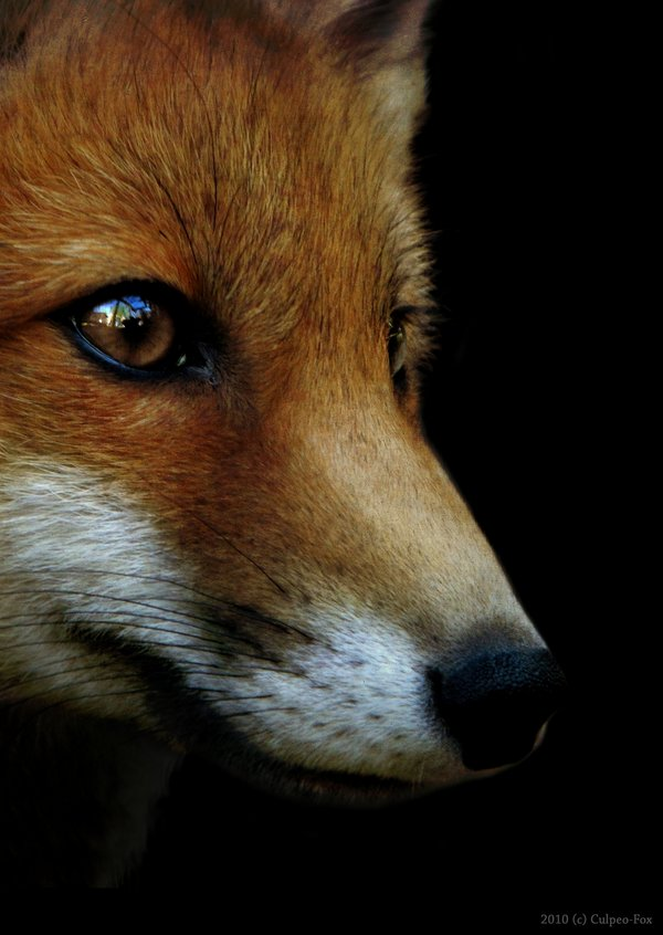 Fox_by_Culpeo_Fox