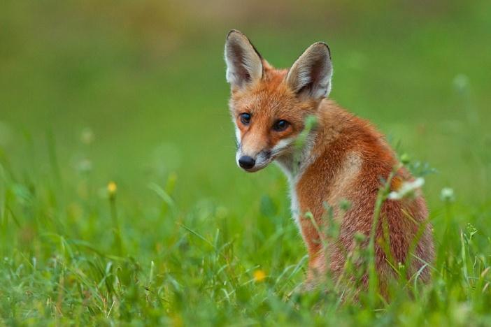fox_by_jmrocek-d3eo38w
