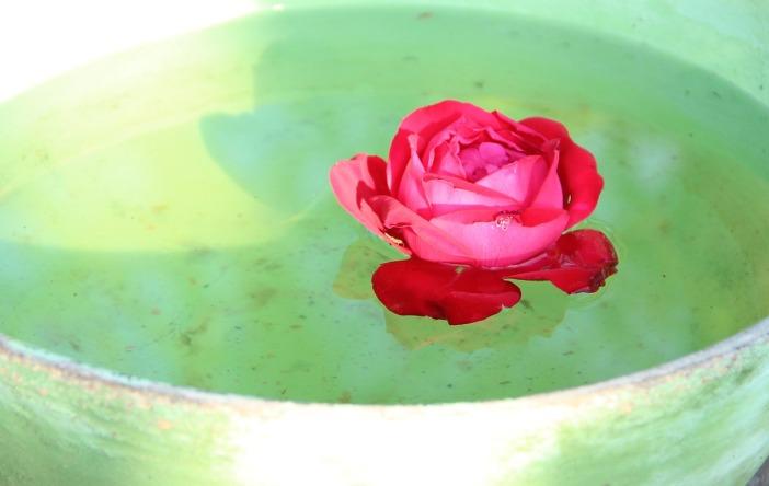rose-983084_1280