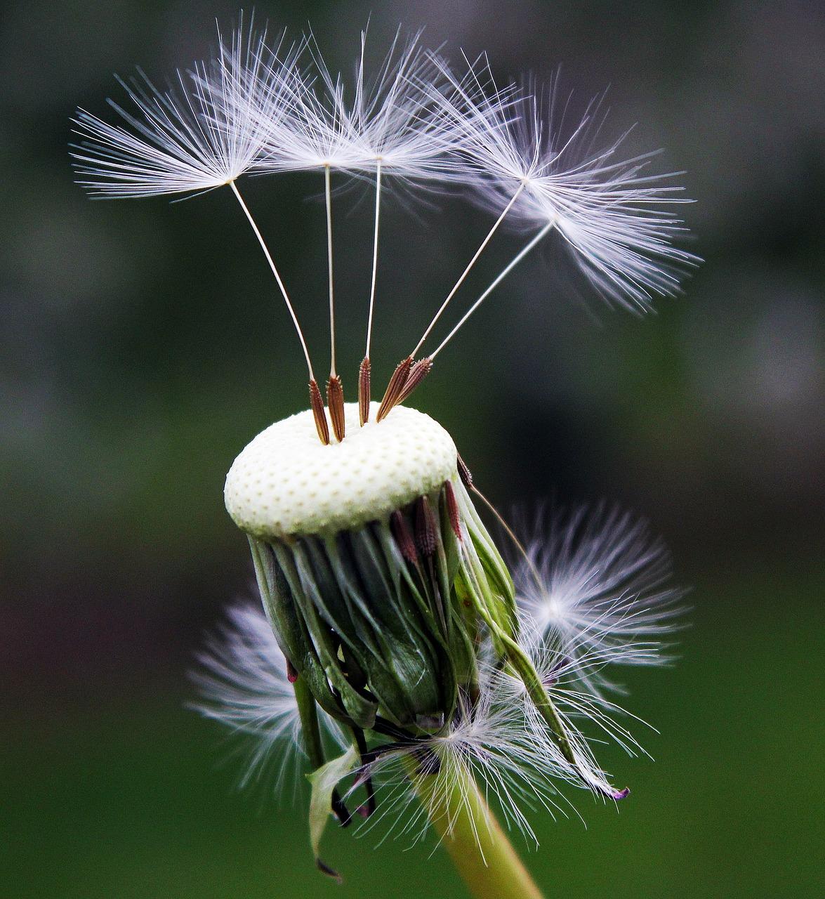 dandelion-1392492_1280
